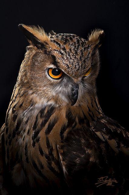 Buho Real Fl Aves Búho Real Aves De Rapiña Y Animales