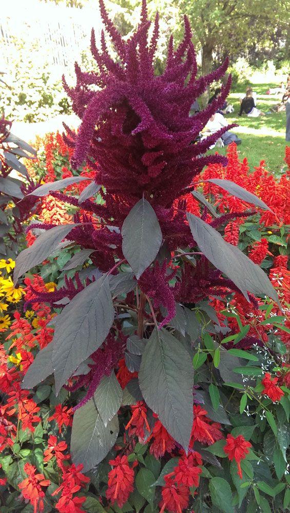 Amaranthus Hypochondriacus Unusual Plants Annual Plants Plants
