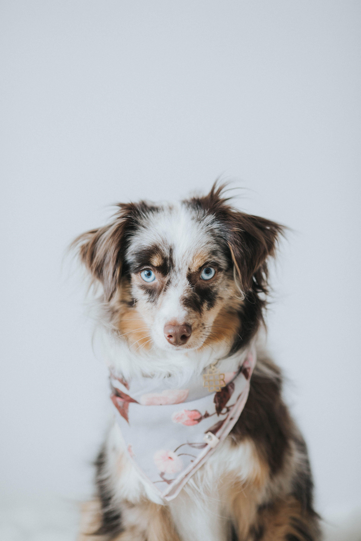 mini australian shepherd in her Oh Tiny Heart