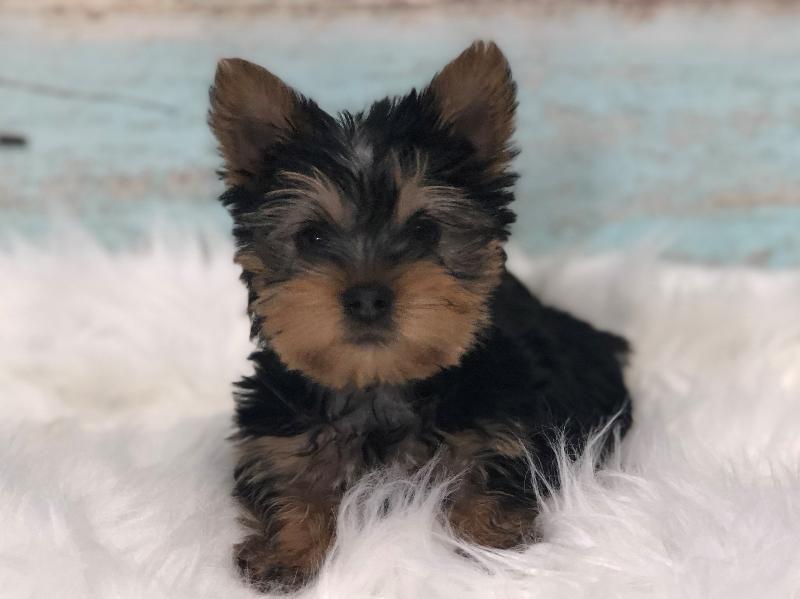 Dogs Puppies For Sale Missouri Petland Blue Springs Puppies For Sale Puppies Teacup Puppies