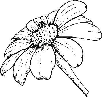Gerber Daisy Drawing Daisy Drawing Flower Line Drawings Flower Drawing