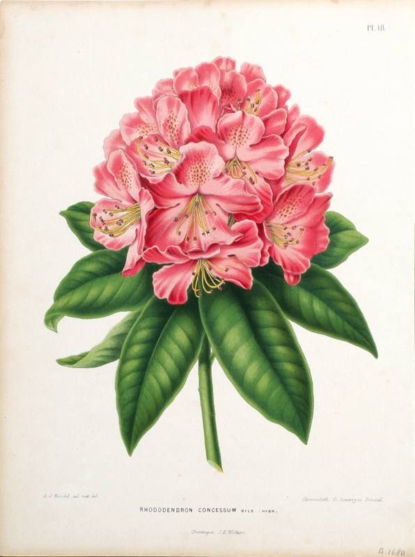rhododendron art - Google Search