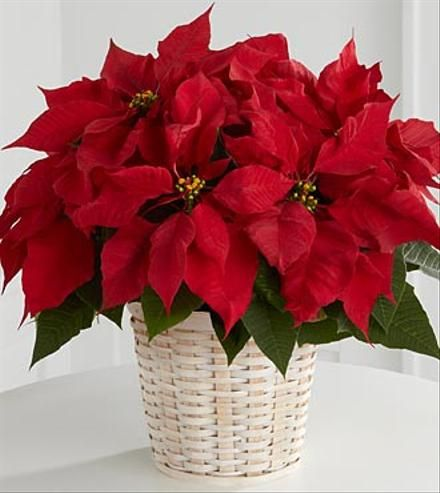 The Traditional Holiday Blooming Plant A Christmas Poinsettia With Its Dark Leaves And Deep Red Fl Christmas Flowers Christmas Bouquet Christmas Centerpieces