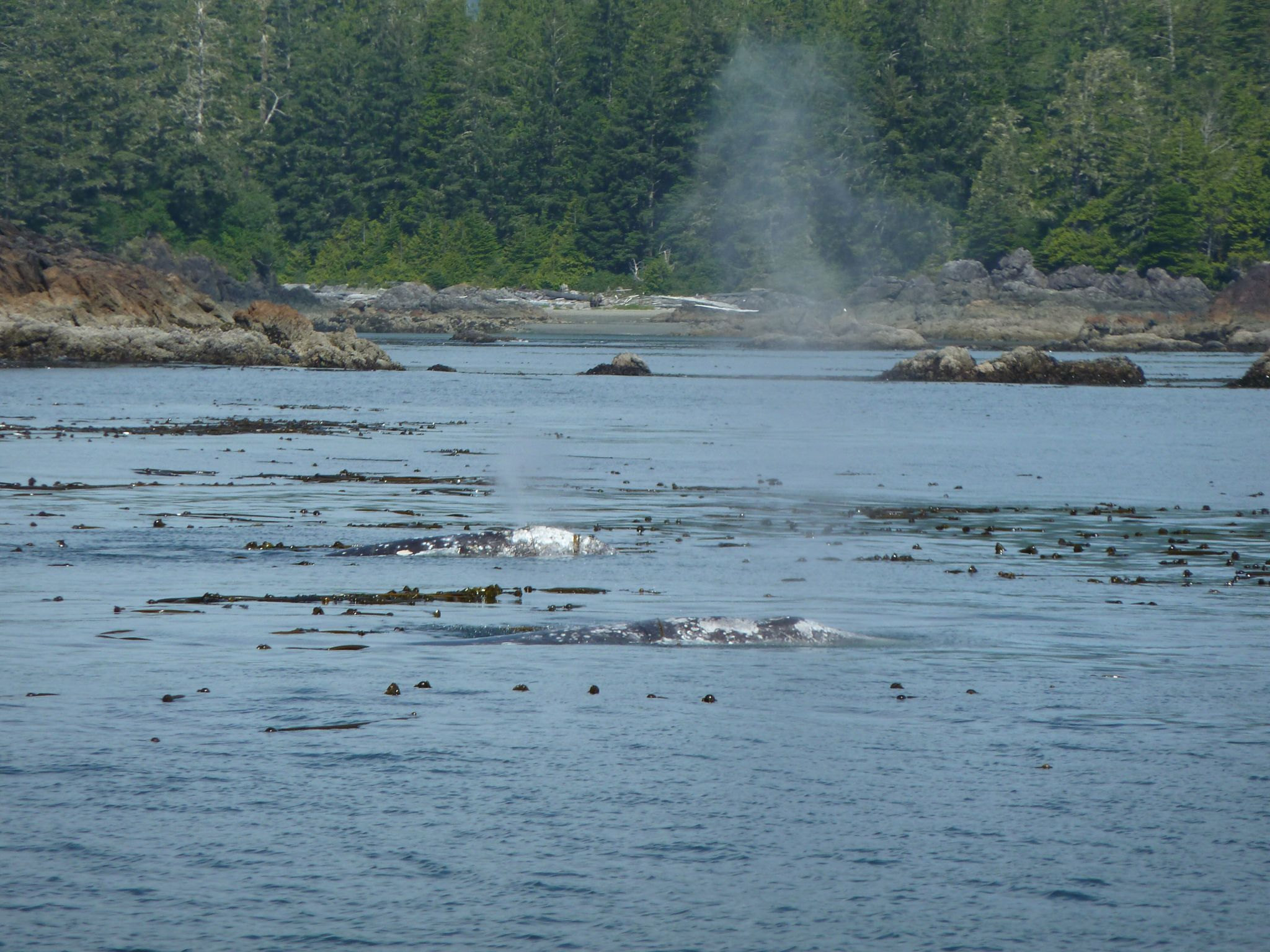 Spot the Grey Whales... Tofino, July 2015.