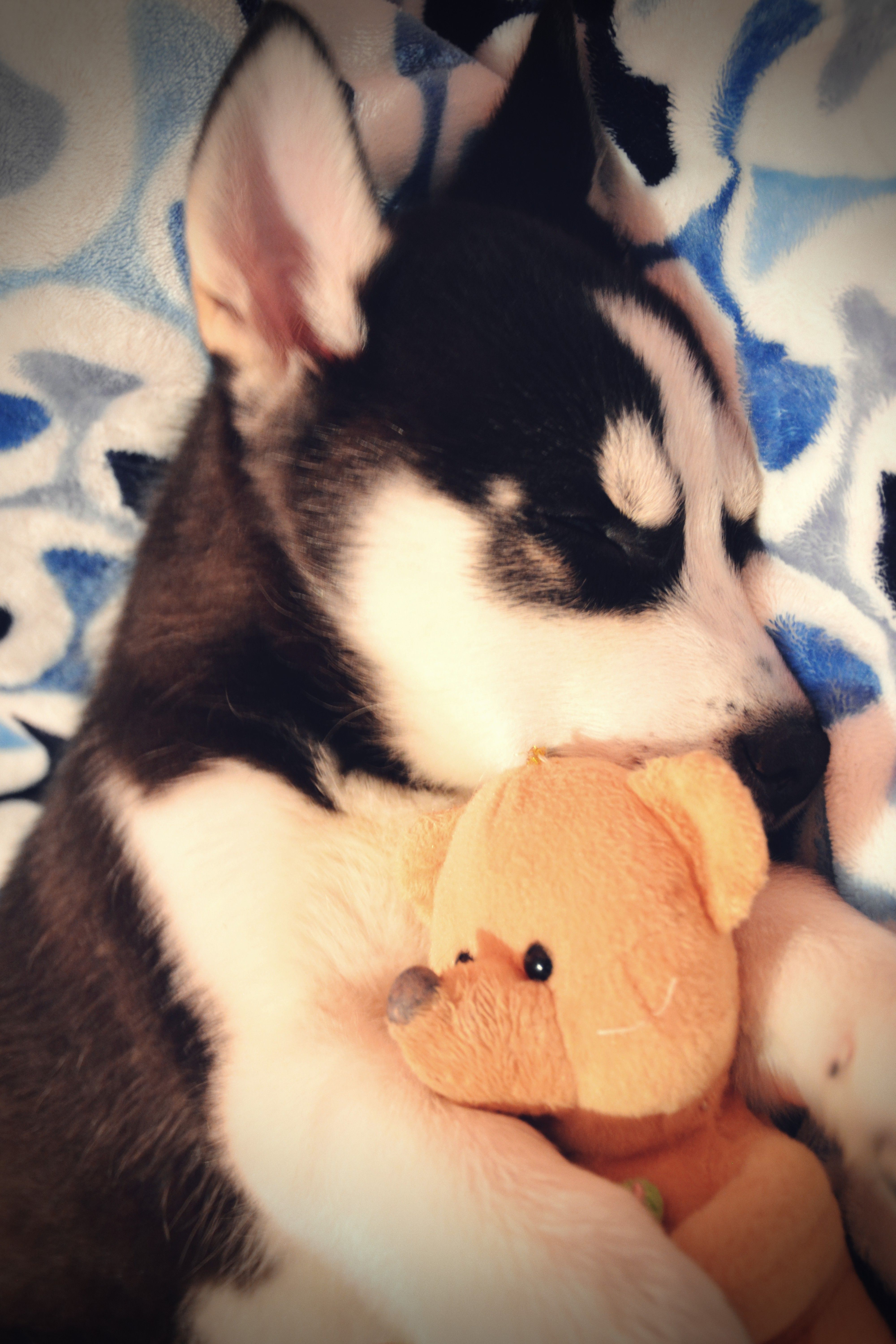 He canut sleep without his toy uc husky puppy cute dogs pets