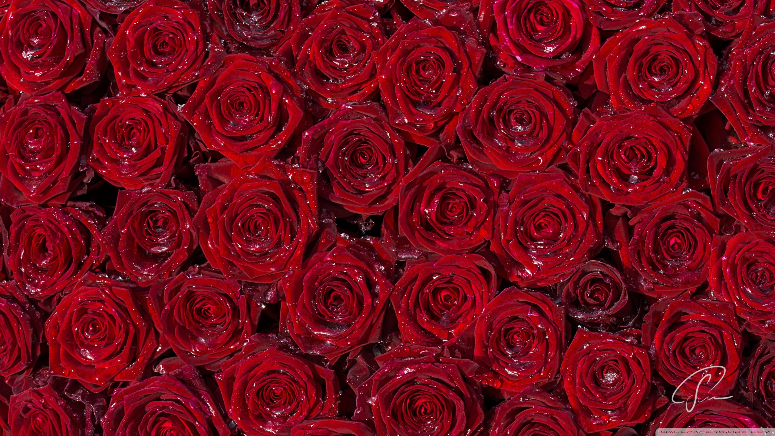 A Red Rose For You Wallpapers HD