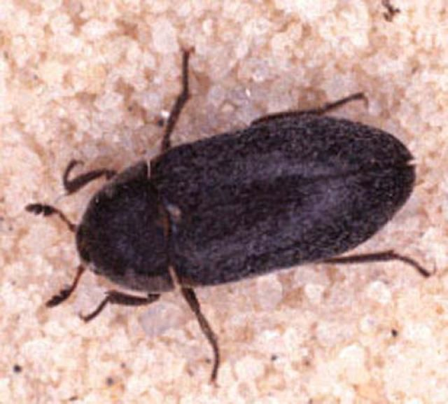 What S Eating Your Clothes Identify And Get Rid Of Bugs Black Carpet Mildew Remover For Fabric Black Beetle In House