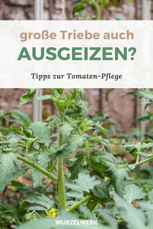 Tomatenpflanzen Ausgeizen Tipps Zur Tomaten Pflege In 2020 Tomatenpflanzen Pflanzen Susskartoffeln Pflanzen