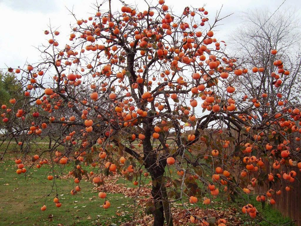 Landscape With Plants That Are Good Enough To Eat Tree Seeds Plants Persimmon