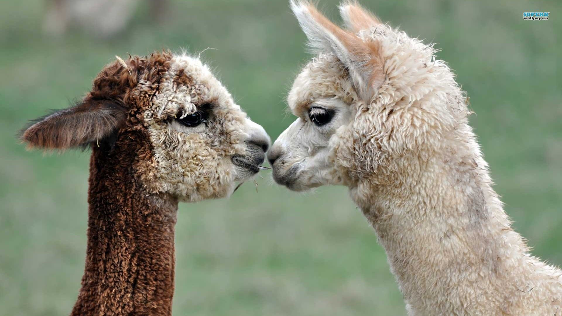 Best HD Alpaca Wallpapers FeelgrPH 1920×1080 Alpaca