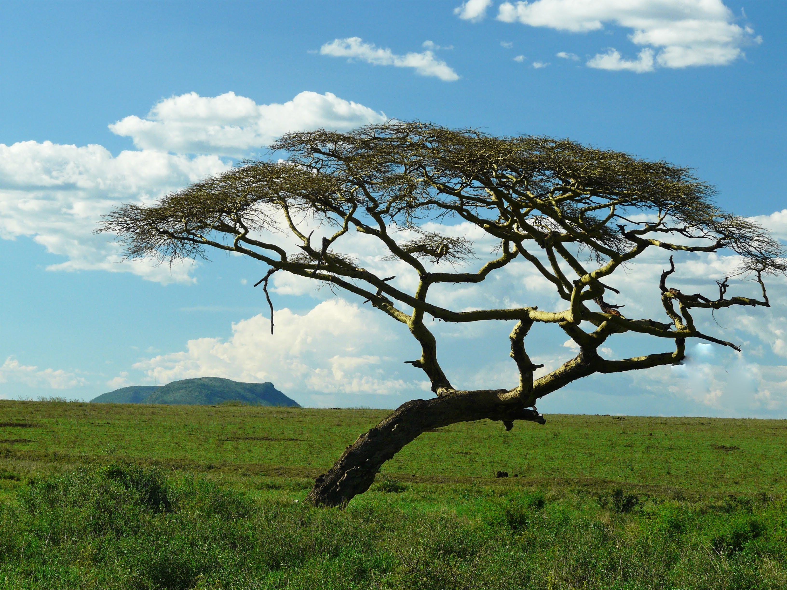 Acacia tree Serengeti Savanna biome, Savanna ecosystem