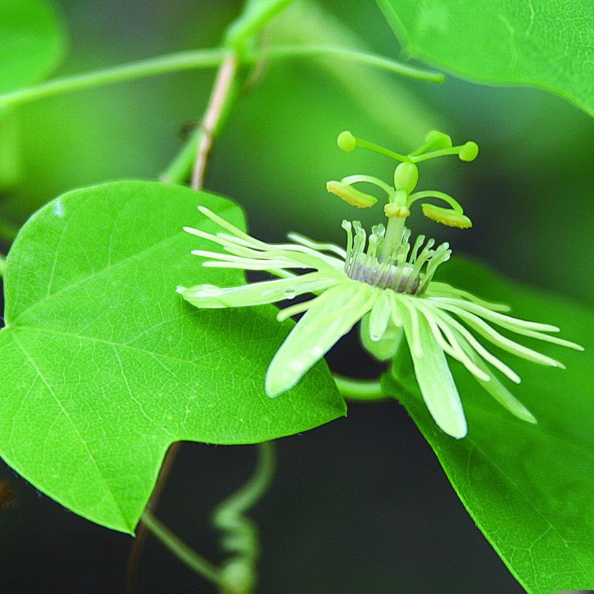 Native Passiflora Lutea Yellow Passionflower 8 To 12 Passiflora Passion Flower Flowering Vines