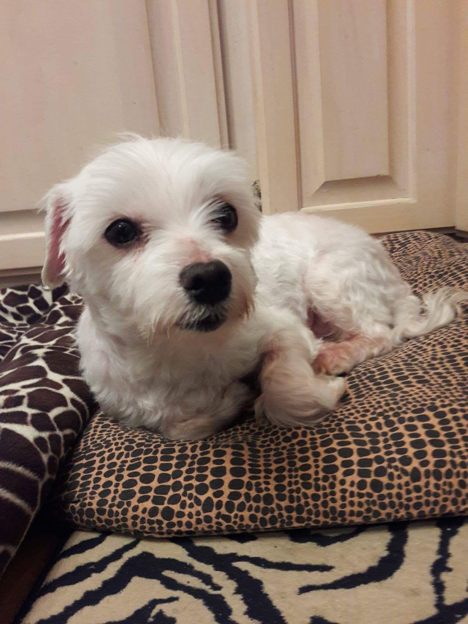 Maltese dog for Adoption in St. Louis Park, MN. ADN737989