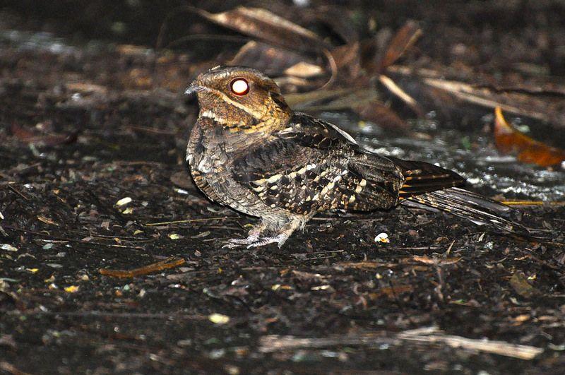 Large-tailed Nightjar..