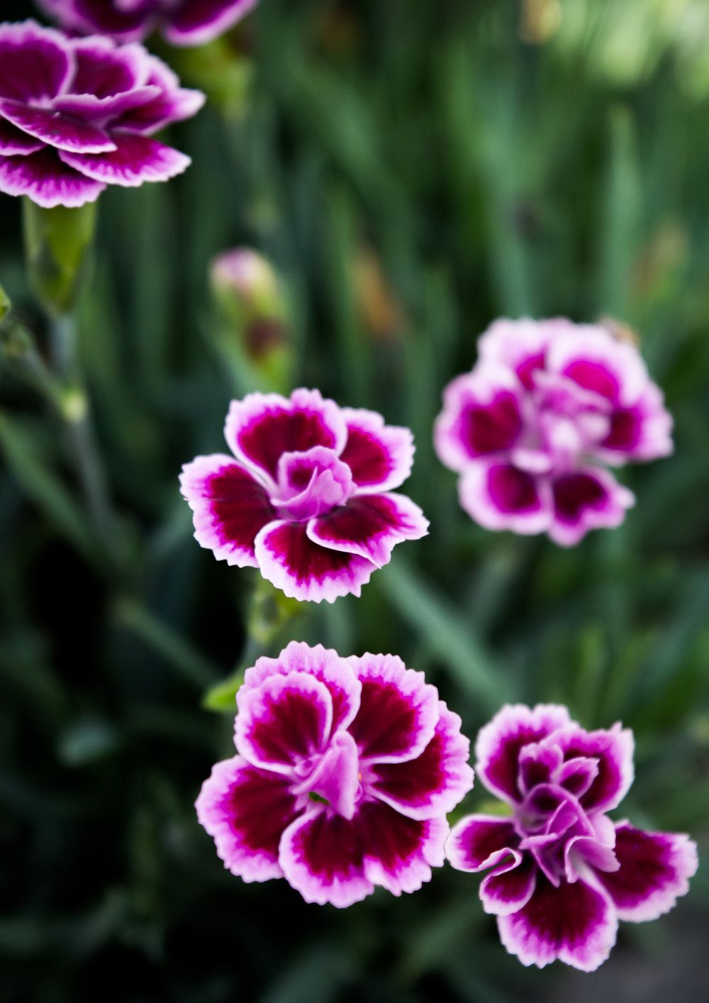 Dianthus Pink Kisses Outdoor Flowers Colorful Flowers Pink