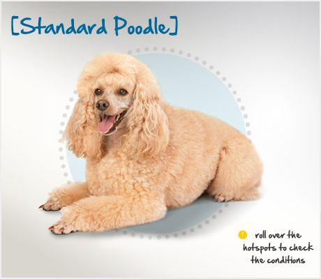 Standard Poodle Condition Checker Beautiful Dog Breeds Poodle Standard Poodle