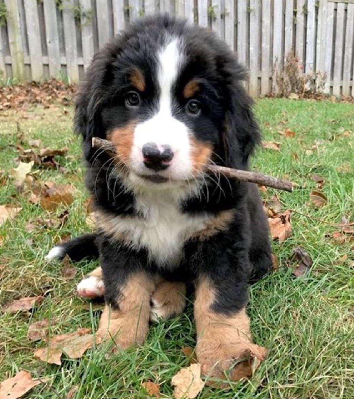 Popular Bernese Mountain Dog Chubby Adorable Dog - ad6aa1981bcd319aee406075da895228  Snapshot_74289  .jpg