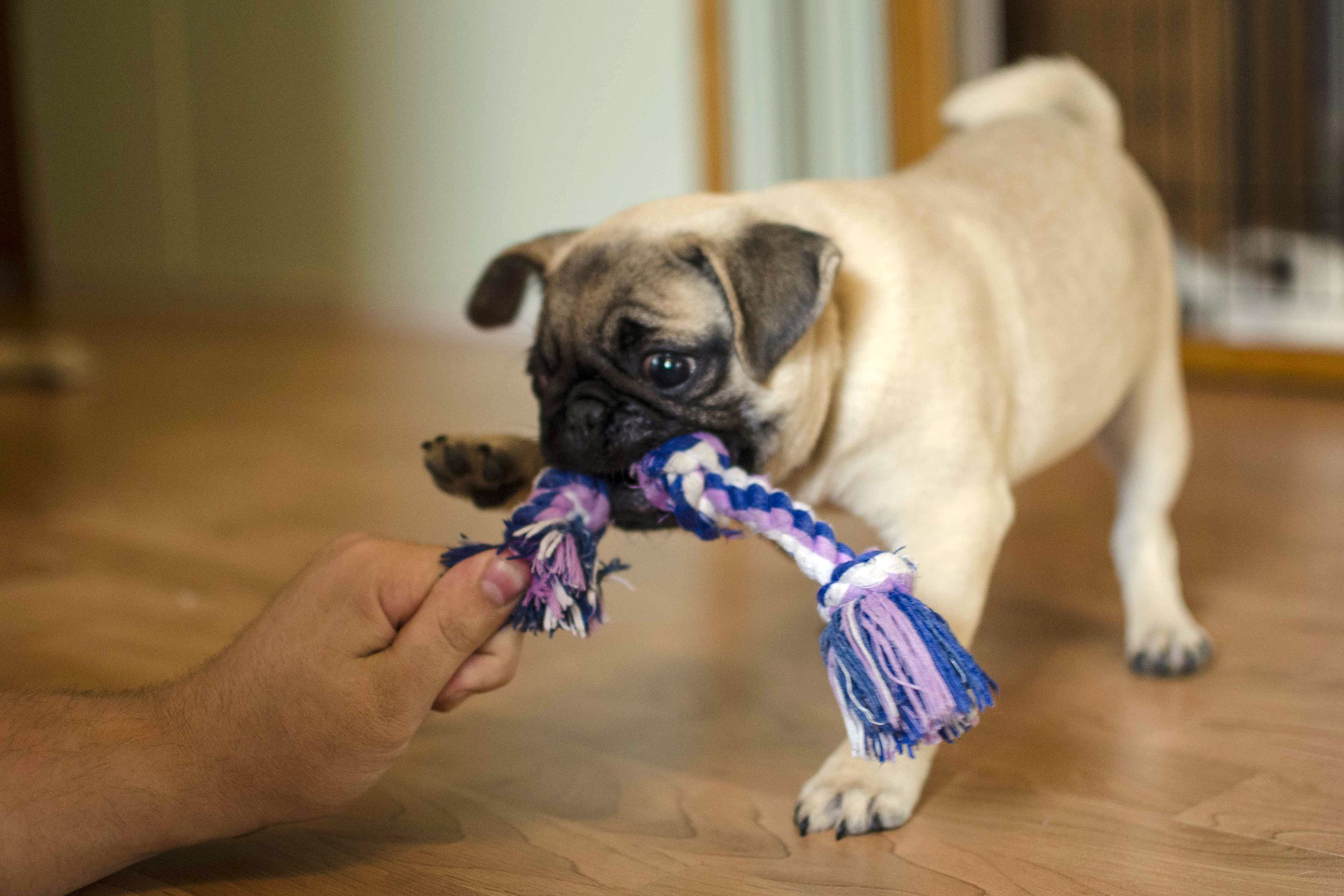 How Long Does Puppy Teething Last Cuteness Dog Urine Puppy Teething Aggressive Dog