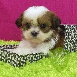 Puppies For Sale Texas Shih Tzu Puppies With Images Puppies For Sale Shih Tzu Puppy Puppies