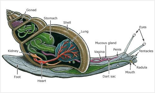 this diagram shows the internal and external parts of a snail | artwork by  bruce mahalski