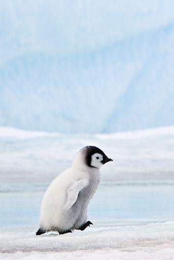 theanimaleffect: Emperor Penguin Chick Walking...