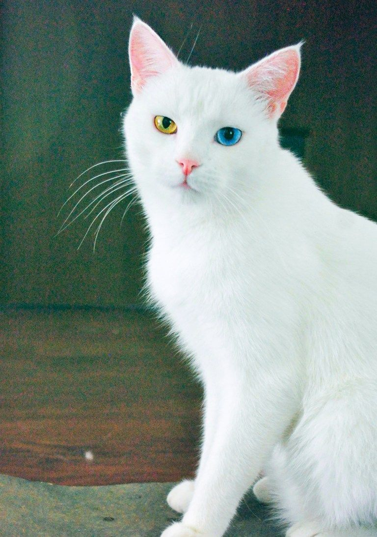 Odd Eyed Cats Cats With Two Differently Colored Eyes In 2020 Angora Cats Cute Baby Cats Beautiful Cats