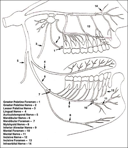 Image: Drawing of the nerves of the maxilla and mandible