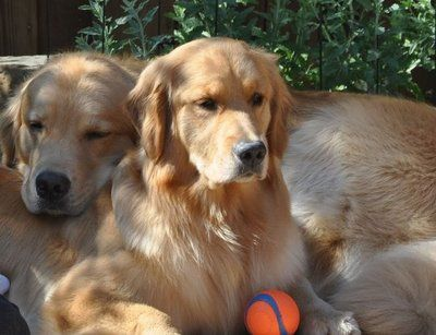 Pin By Emily Best On Bucket List Golden Retriever Retriever Dogs
