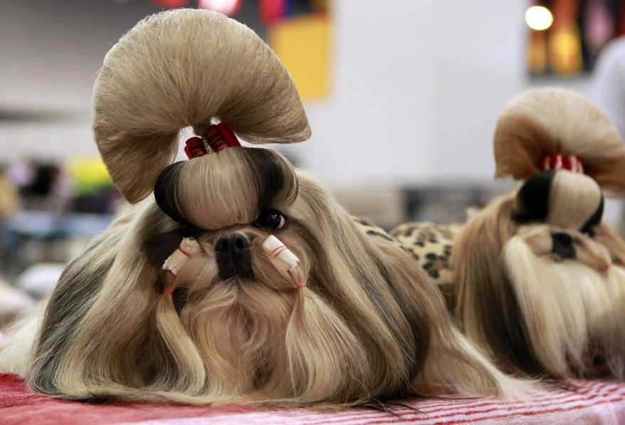 Groomed Shih Tzu Dogs Wait For The Start Of A Competition During