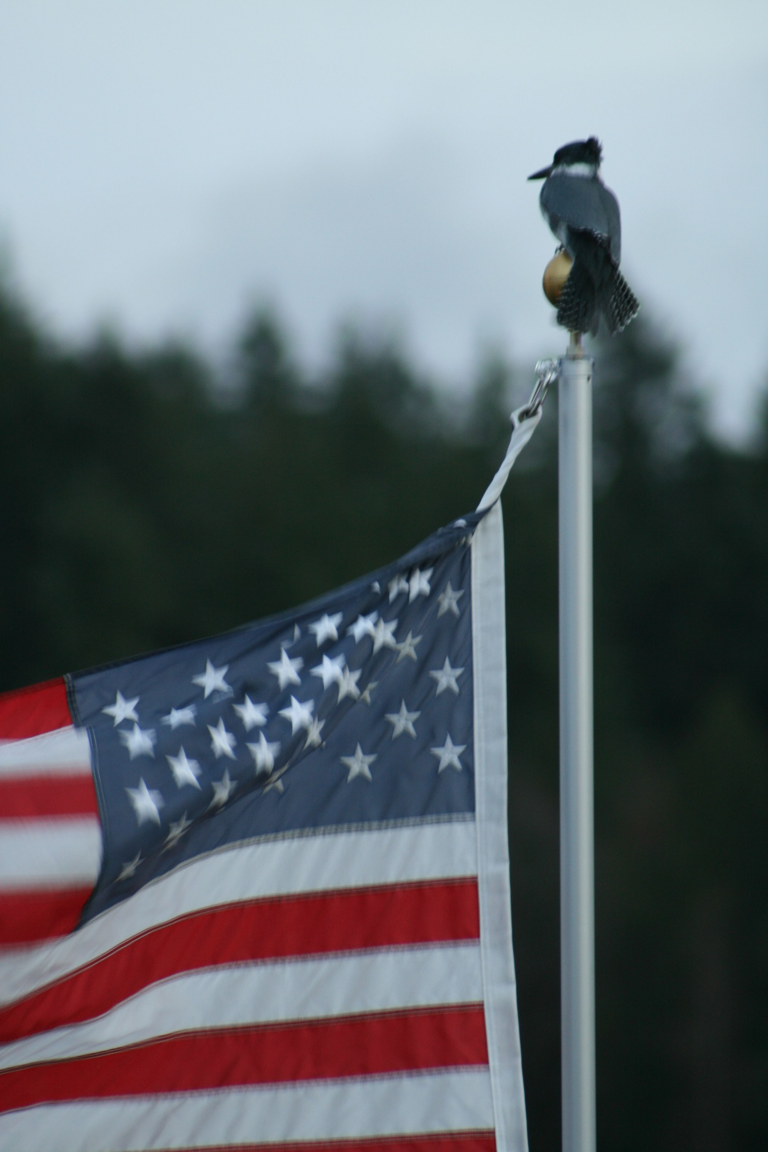 A common visitor to our flag pole