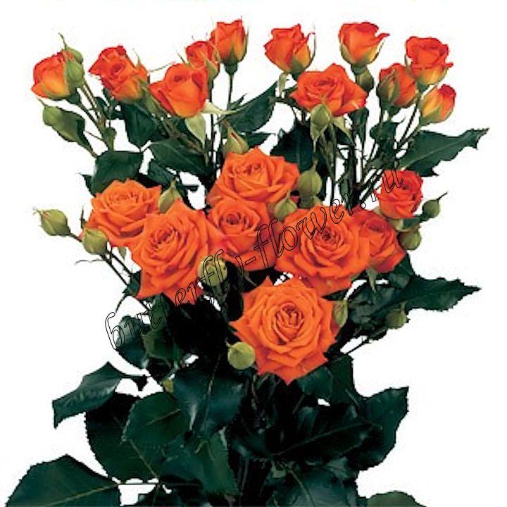 Роза кустовая Babe