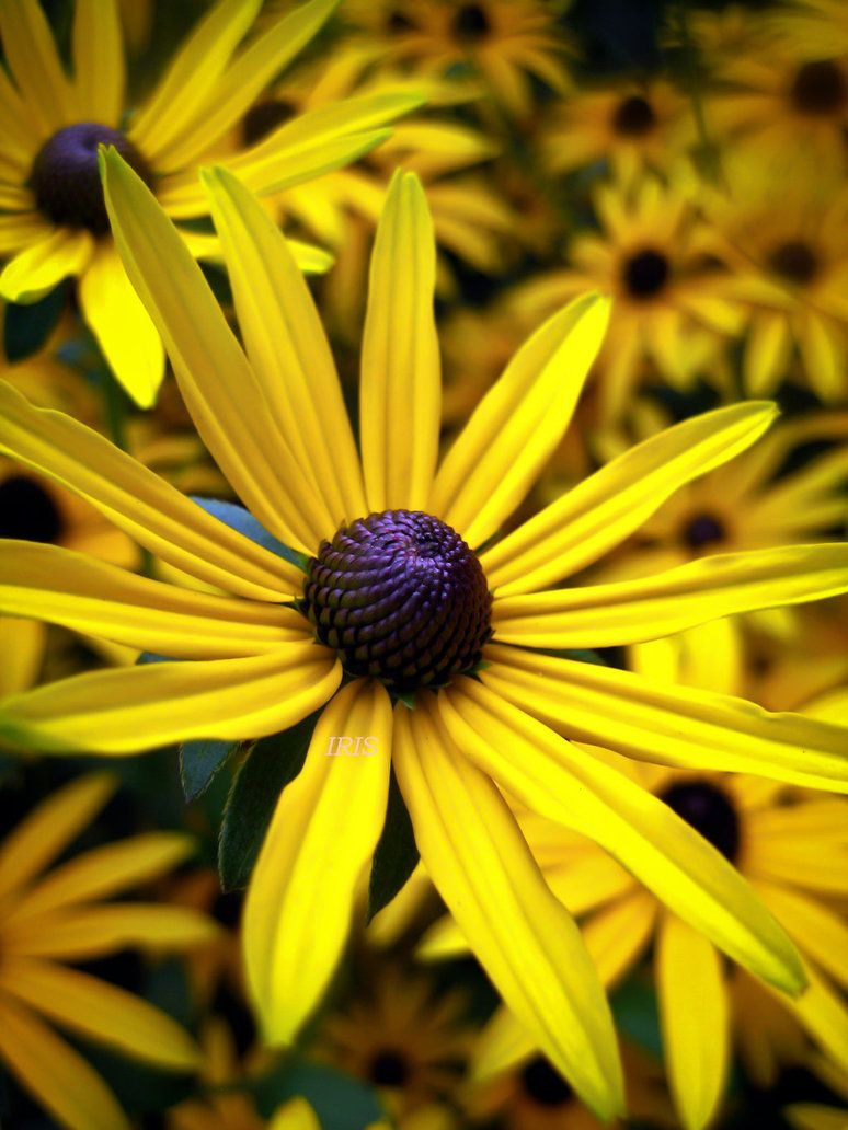 yellow daisy by iriscup