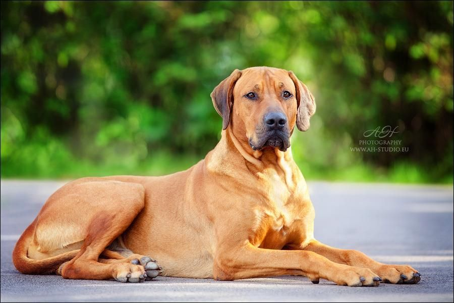 This Is A Photo Study Of The Rhodesian Ridgeback Not All Photos Are Mine But Were Found On The Internet Rhodesian Ridgeback Labrador Retriever Dogs