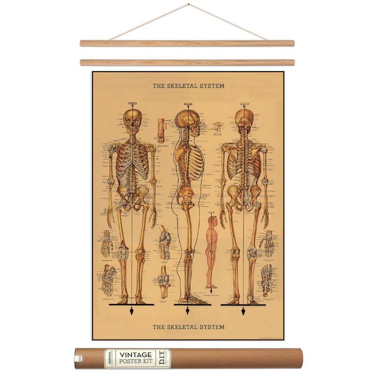 amazon: human skeleton poster with hanger kit scientific, Skeleton