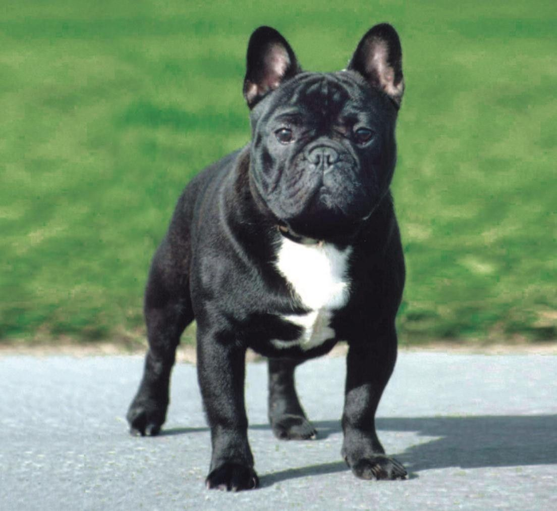 American Bully French Bulldog Mix Google Search Animaux