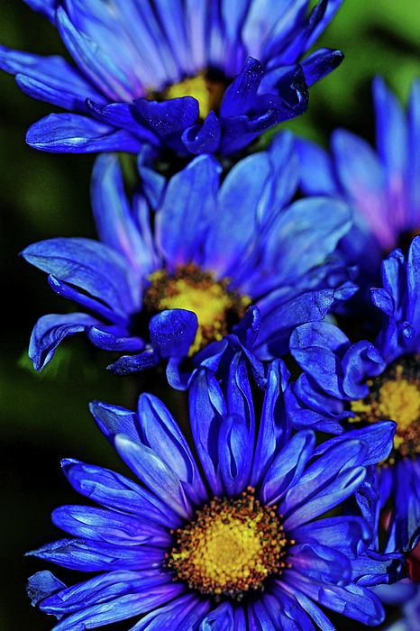 Blue Mums - Guelph Ontario Canada #art #photography #mums #chrysanthemums #flowers #blueflowers #artforsale