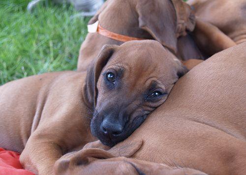 Puppy Puppies Big Dog Breeds Rhodesian Ridgeback Puppies