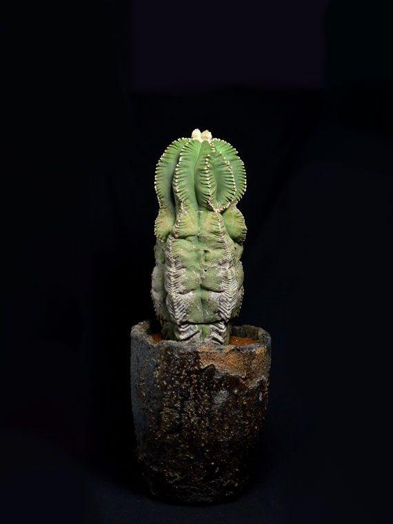 """亀甲碧瑠璃鸞鳳玉 Astrophytum myriostigma cv.""""kikkohhekiruriranpogyoku"""""""