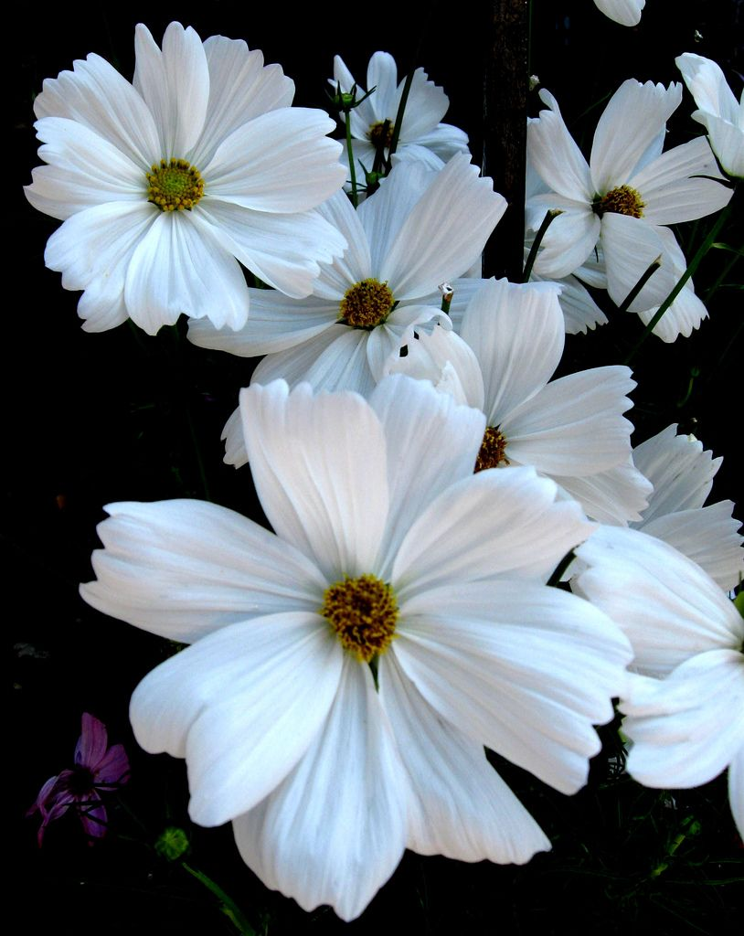 Morning White Beauty Nature Pinterest Cosmos Flowers Flowers