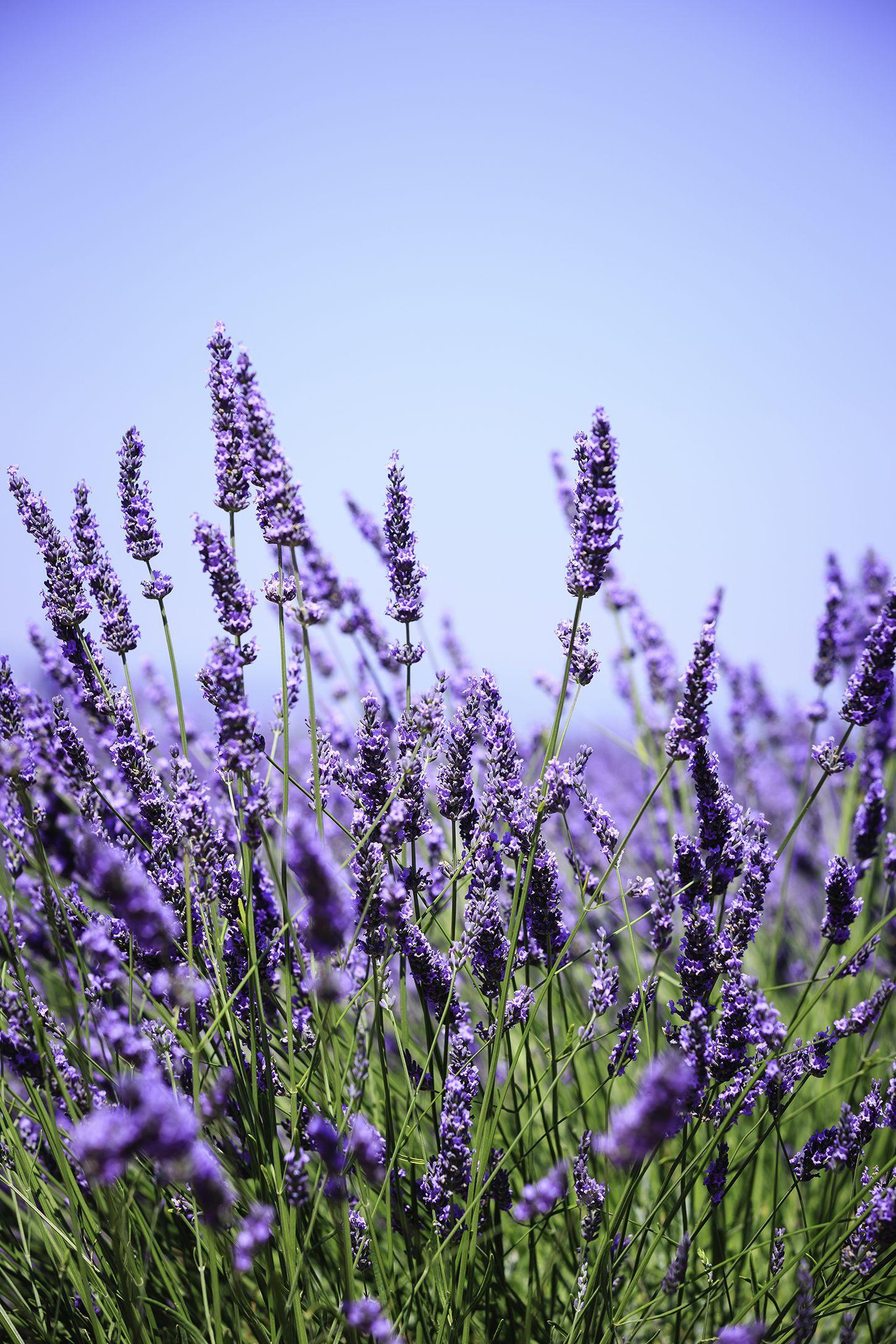 8 Flowering Herbs That Look Beautiful And Taste Great Lavender Flowers Lavender Plant Flower Meanings