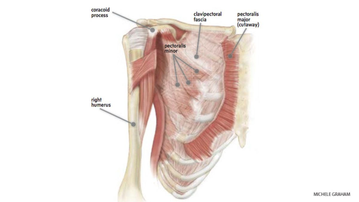 Anatomy 101: Understand Your Pectoralis Minor | Anatomy, Muscles and ...