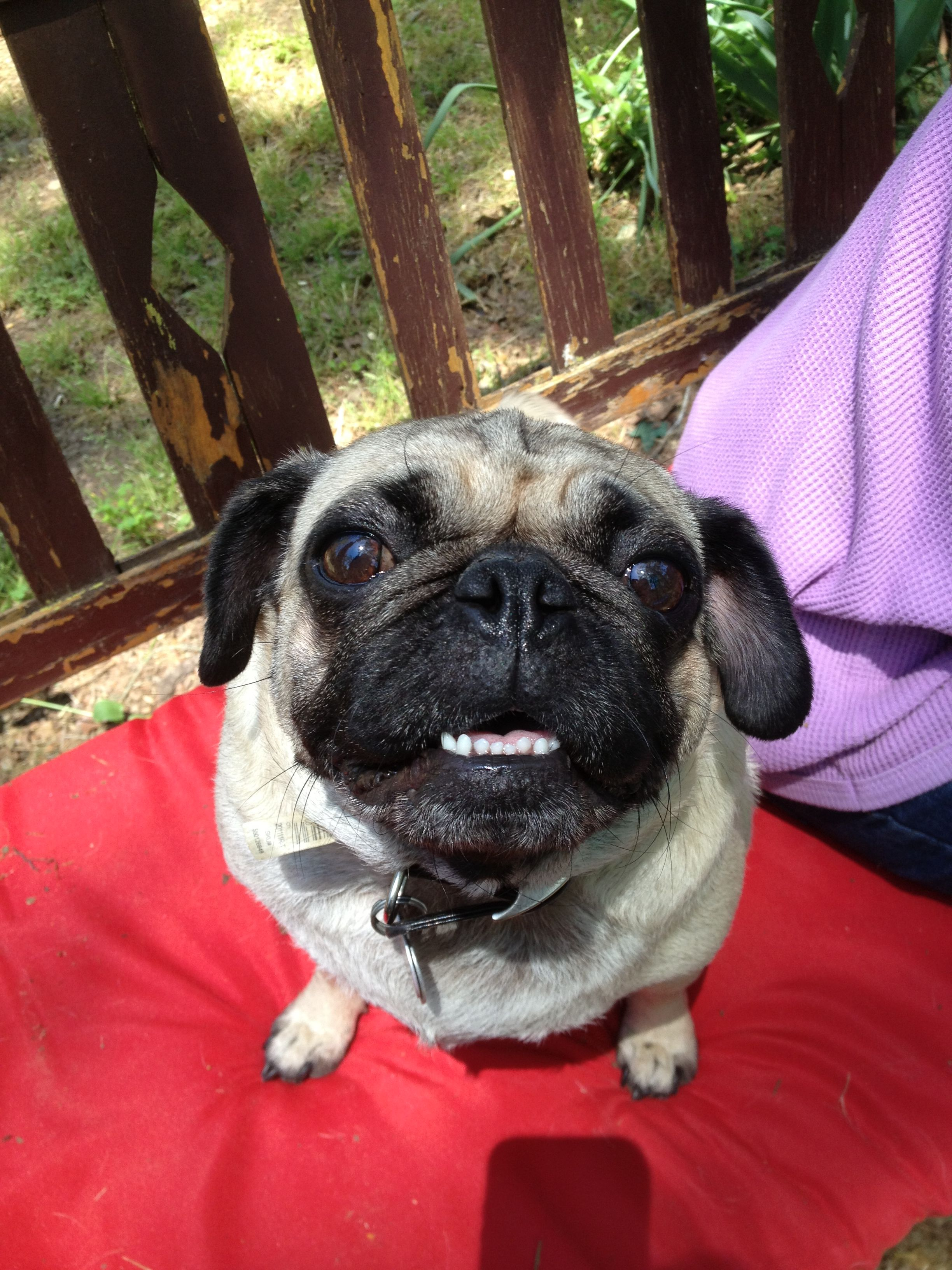 Look I brushed my teeth! SEE! Pugs, Animals, French bulldog