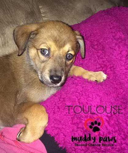 Toulouse Lucy Dogs Animals Toulouse