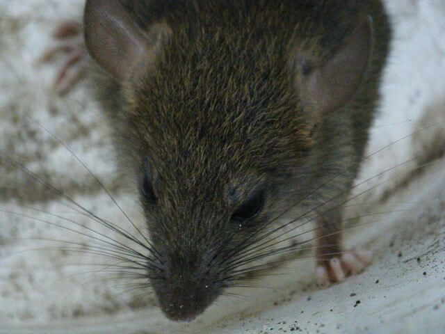 Homemade Rat Poison That Works & Costs Pennies   Critter riddance