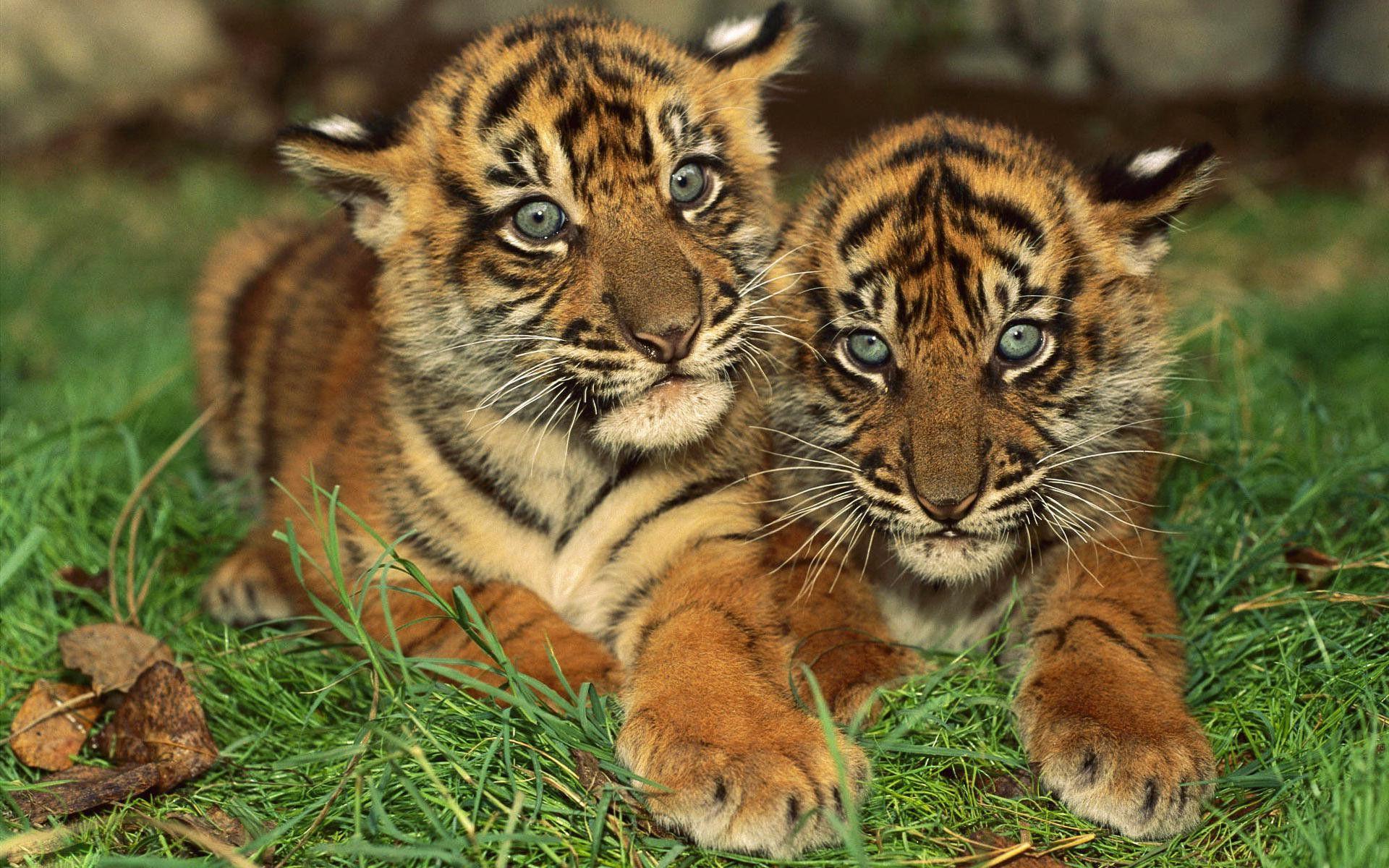 babys mit tiere baby tigers wallpaper tierbabys pinterest s e baby tiere tiere und. Black Bedroom Furniture Sets. Home Design Ideas