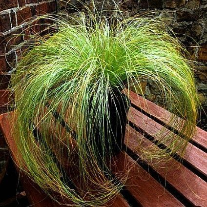 Carex comens Frosted Curls Grass