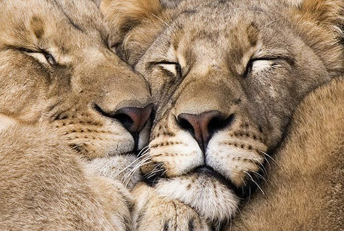 Lions napping.