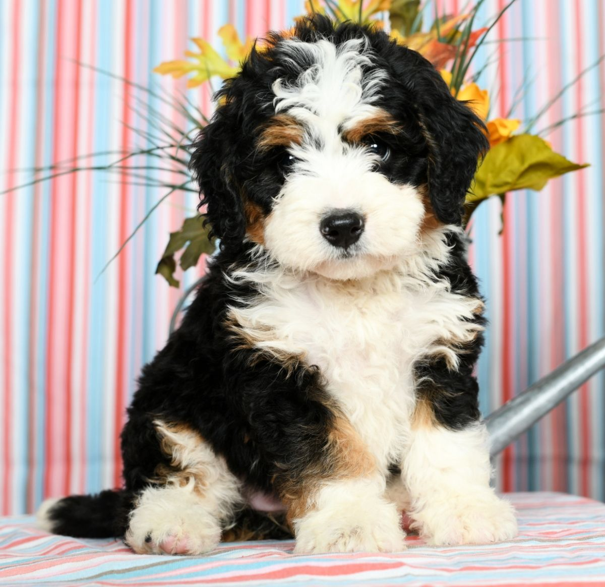 Puppies For Sale Bernedoodle Puppy Dog Friends Mini Bernedoodle