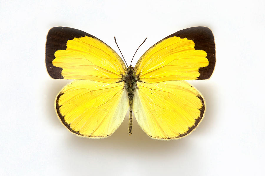 Butterfly Specimen Korea,eurema Hecabe,common Grass Yellow by Jun2 in 2020  | Grass, Butterfly, Yellow butterfly