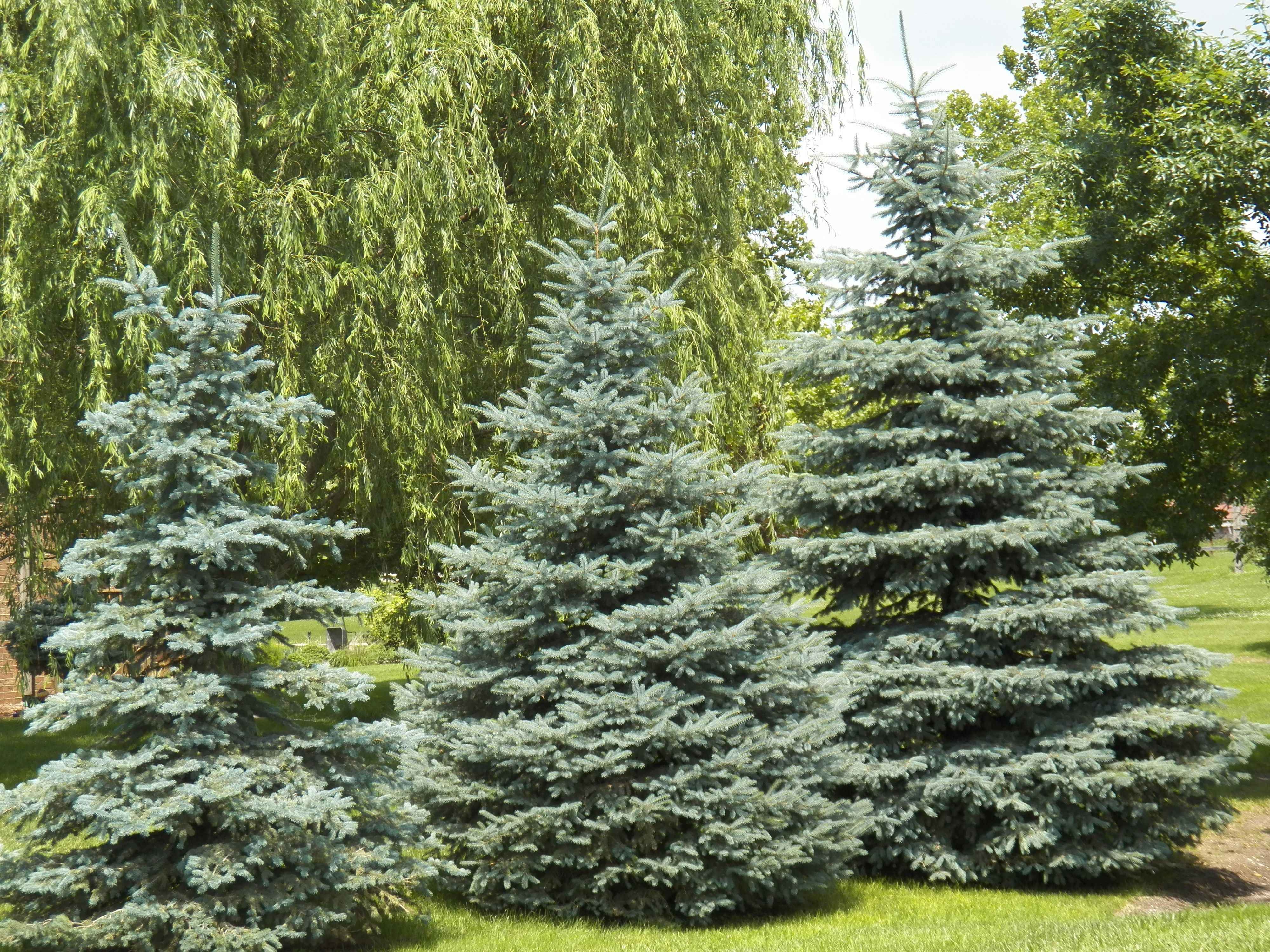 colorado blue spruce picea pungens
